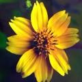Niger Flower